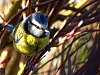 Wallpapers, offered free, but donations gratefully accepted!-blue_tit-jpg